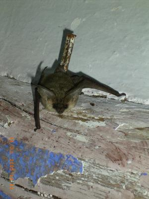 El Murciélago Orejudo